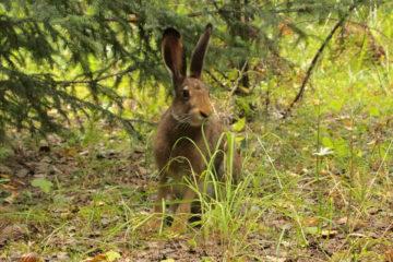 В Нязепетровском районе посчитали диких животных