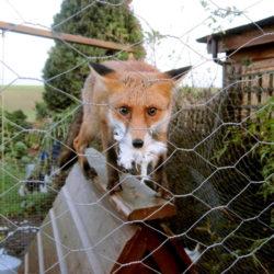 В Нязепетровском районе много лис