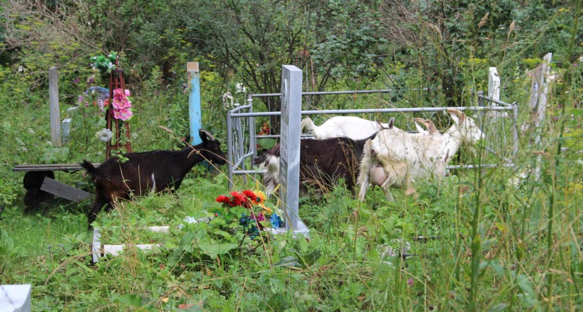 Козы на кладбище в Нязепетровске
