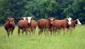 В Челябинской области увеличивают поголовье скота