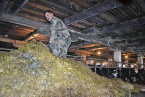 Коровы в Нязепетровском районе