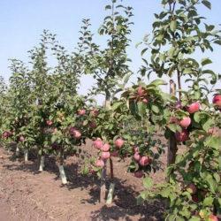 В Челябинской области выращивают яблони на западный манер