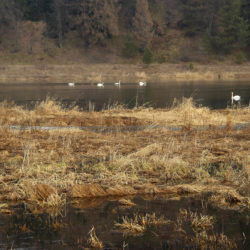 Лебеди в Нязепетровске