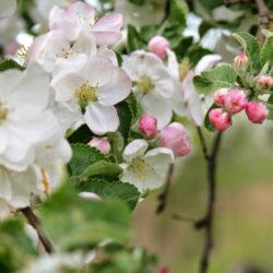 На Южном Урале вновь зацветут яблоневые сады