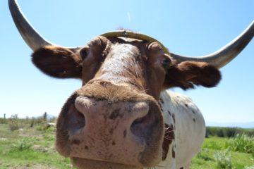 В Нязепетровском районе коровы переехали на летние «квартиры»