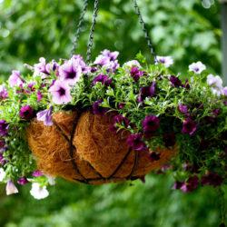 Петуния – любимица нязепетровских садоводов