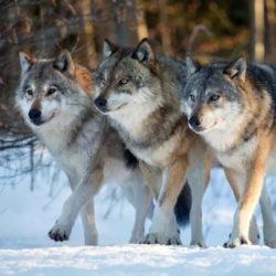 Около 80 волков постоянно обитает в Нязепетровском районе