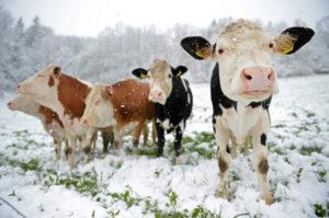 Больше молока стали получать в Нязепетровском районе