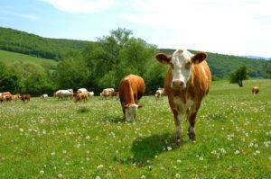 Выпускать скотину в свободный выгул - опасно