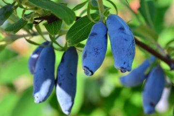 Жимолость – одна из первых ягод наступившего лета