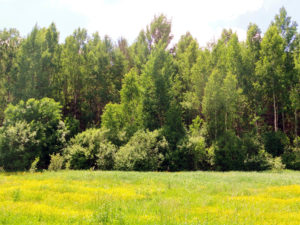 Молодой лес в Нязепетровском районе